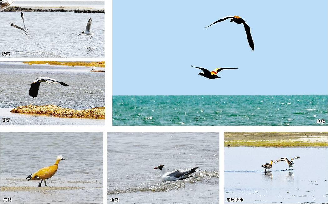 青海湖:正是最佳观鸟季