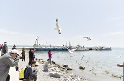 青海湖鸟岛:飞鸟集翔迎八方游客