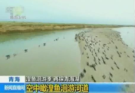 湟鱼洄游季 再探青海湖 特别报道(4)