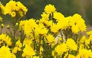 高原冠菊浸染秋