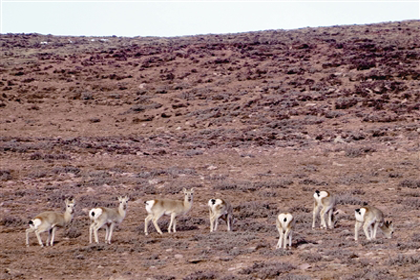 三江源地区生态环境逐步改善 野生动物数量增加