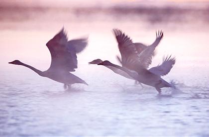 美丽视野:天鹅