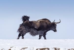 野牦牛重归果洛玛多