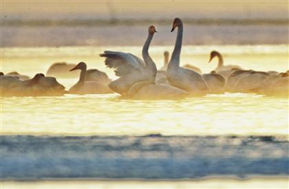 壮观!大天鹅青海湖畔再起舞