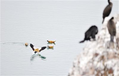 四月,不要错过青海湖鸟岛