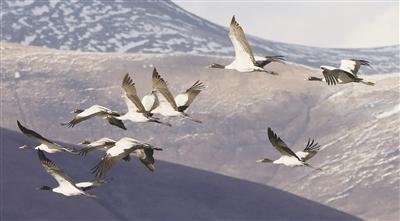 嘉塘飞来黑颈鹤