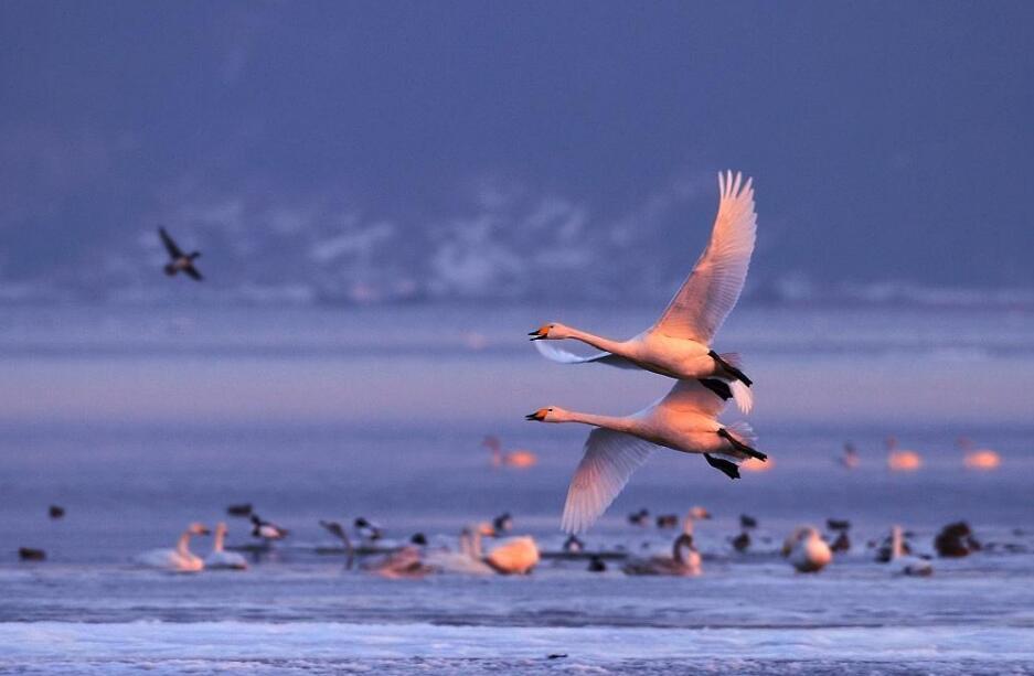 野生鸟类迁徙 察尔汗盐湖水源地成为奇观