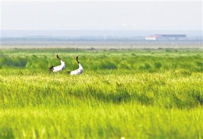 青海湖鸻鹬类水鸟增加至千余只 同比增长四倍左右