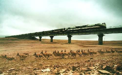 """可可西里藏羚羊开始大规模回迁 青海""""生态之窗""""记录藏羚羊回迁盛景"""