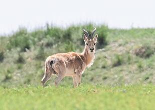 青海湖畔监测到普氏原羚数量达2000余只