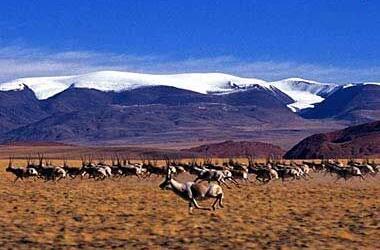 可可西里7只藏羚羊幼崽得到救助
