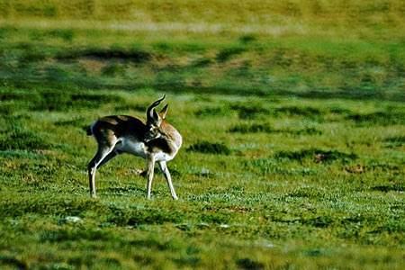 """""""天眼""""拍到大批普氏原羚漫步青海湖畔 最多的种群数量达260多只"""
