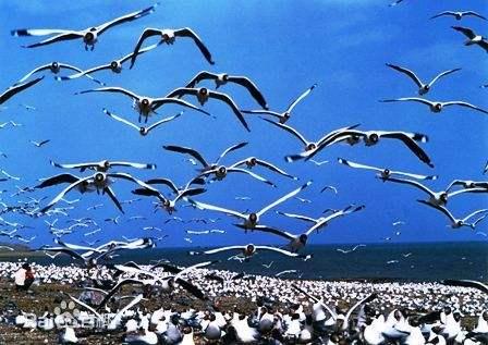 十万余只候鸟云集青海湖