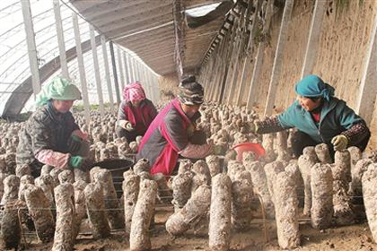 青海花菇成韩国市场宠儿