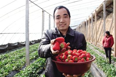 冬日大棚草莓喜丰收