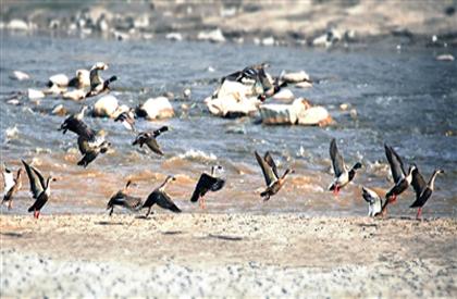 湟水河畔鸟越来越多