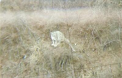 奇!兴海县牧民偶遇雪豹