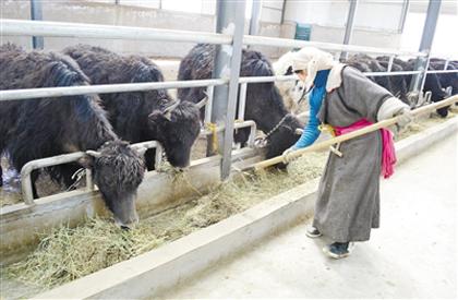 """""""四个转变""""在基层:不挖虫草养奶牛"""