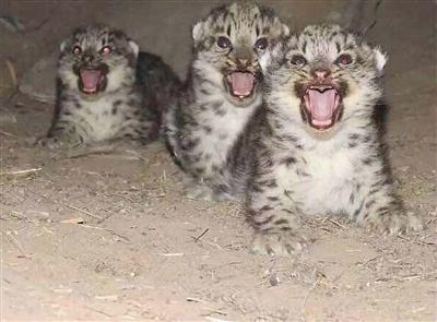 罕见:牧民拍到三只吃奶小雪豹