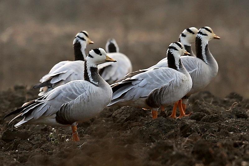 比2012年同期增长近两倍 长江源头斑头雁数量达3195只