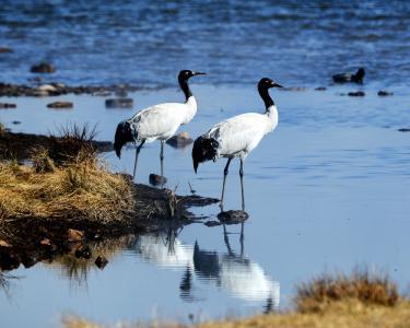 祁连山国家公园青海片区首次发现8只黑鹳幼体