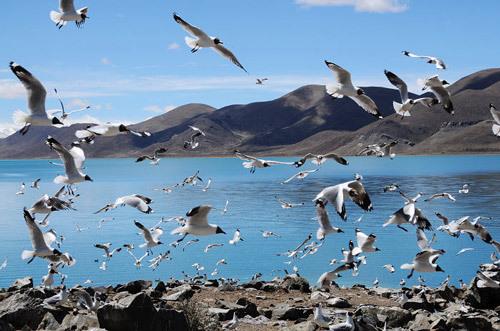 2.6万余只水鸟青海湖筑巢栖息