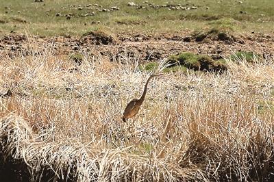 首次发现草鹭青海湖添新鸟种