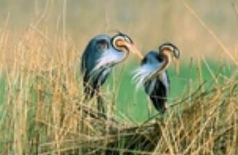 青海湖首次检测到水鸟草鹭 鸟种记录增加至224种