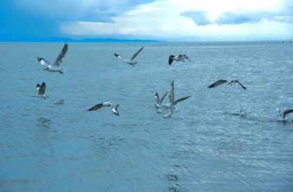 小滨鹬刷新青海湖鸟类新记录