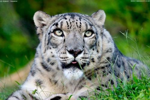 首次抓拍:玉树草原上藏狗碰到雪豹