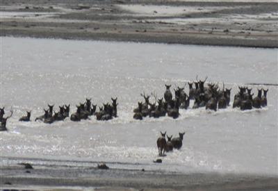 震撼:70头白唇鹿集体横渡长江