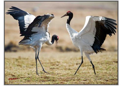 监测显示:长江源部分区域黑颈鹤数量超过180只