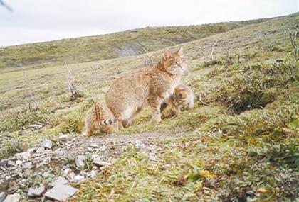 三江源地区首次记录到荒漠猫抚育幼崽影像