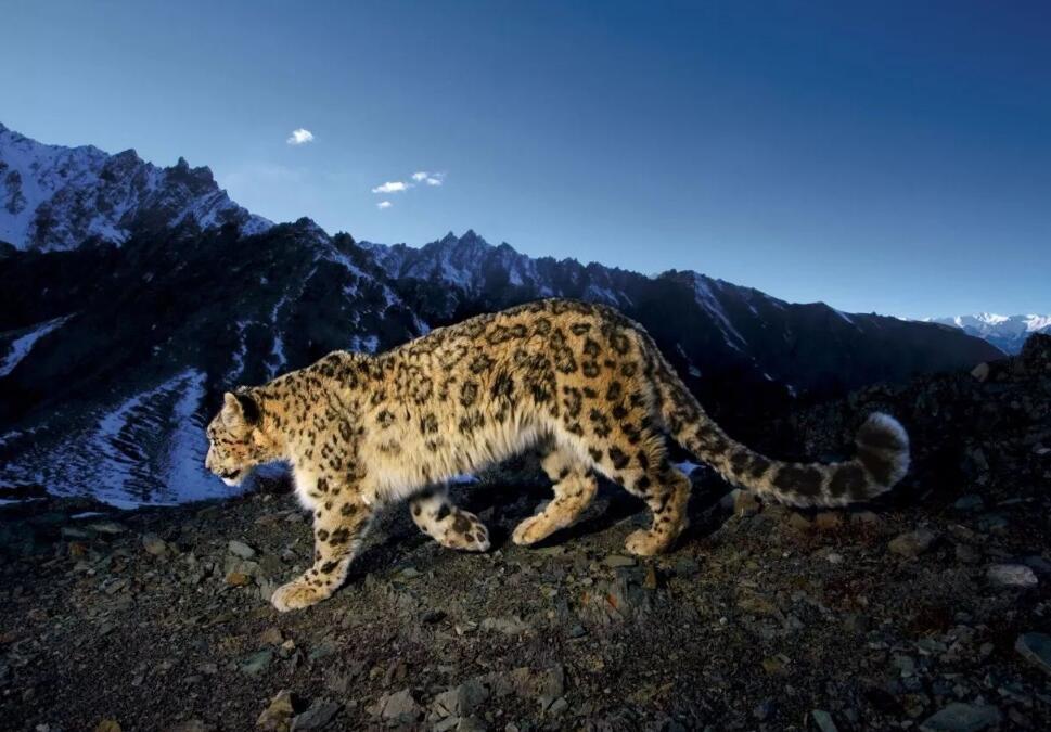 三江源部分区域雪豹分布密度达每百平方公里近3只