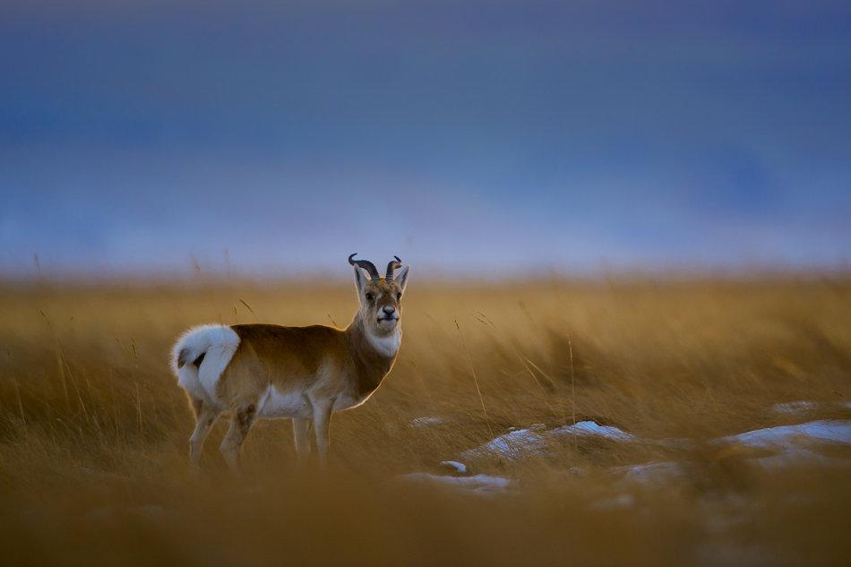 生态观察:奔跑吧,普氏原羚
