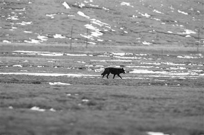 三江源国家公园首次发现罕见黑狼