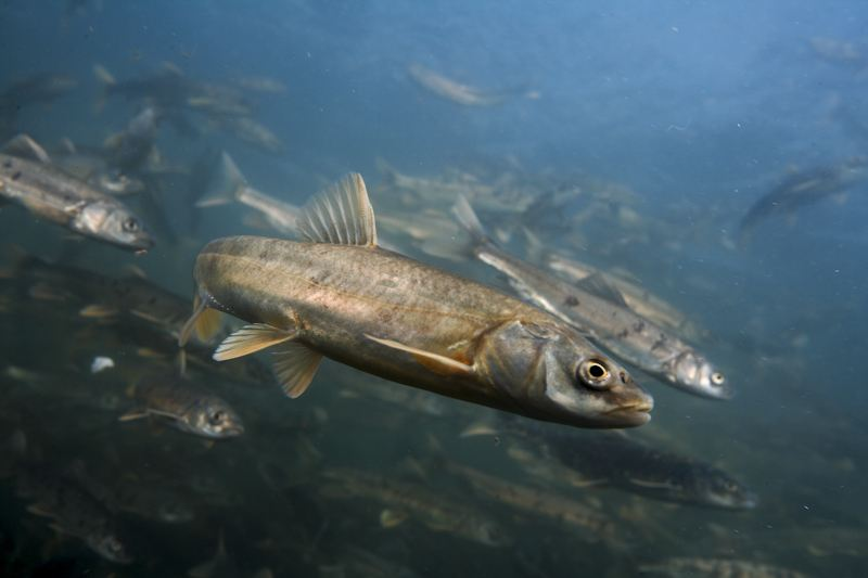 青海湖裸鲤资源蕴藏量比2002年增长34倍