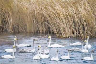 黄河湿地天鹅湖