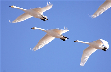 八千多只水鸟青海湖越冬