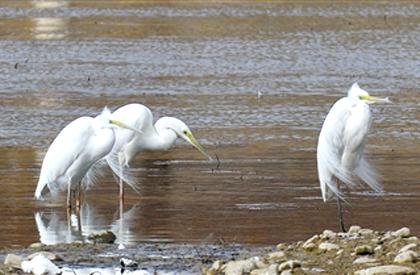 北川河湿地白鹭舞蹁跹