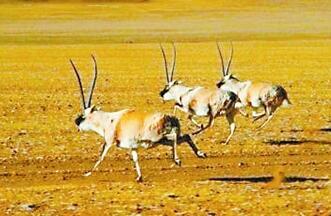 可可西里藏羚羊进入产崽迁徙期