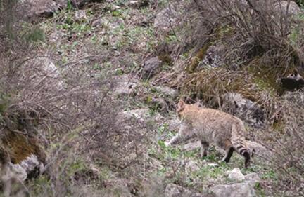 祁连山国家公园又现荒漠猫