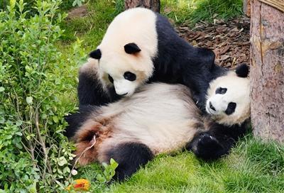 昨日熊貓館成為西寧最熱的詞