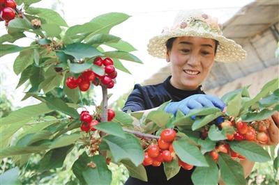 游客在城北區大堡子鎮吧浪村的溫室里采摘誘人的高原大櫻桃