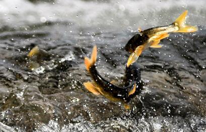 沙柳河是湟鱼洄游的通道之一