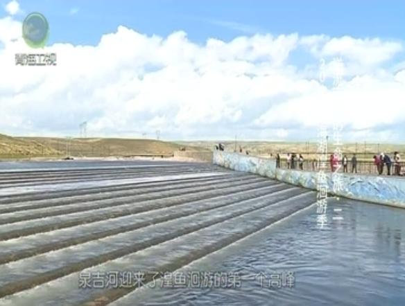 2019青海湖湟鱼洄游季 逆流而上的生命之旅·二