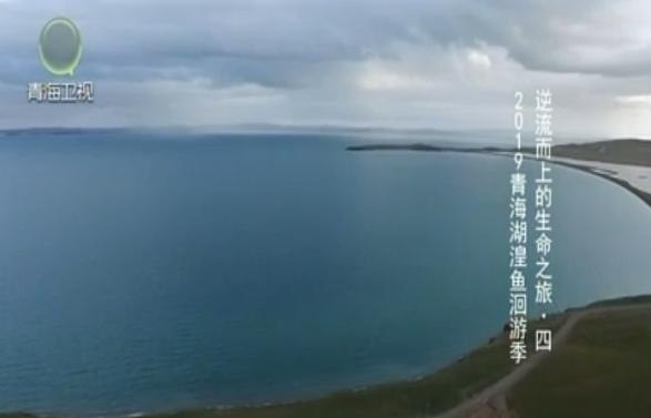2019青海湖湟鱼洄游季 逆流而上的生命之旅·四