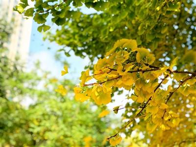 西宁的银杏叶悄悄泛黄了