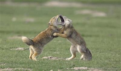 我省两位摄影家载誉而归 省内外摄影家共话青海野生动物摄影