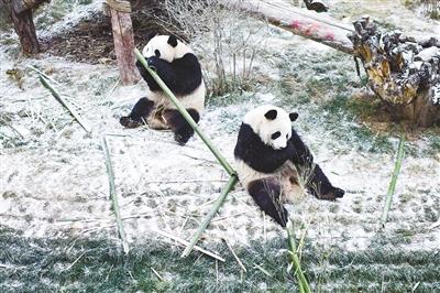 雪中大熊猫
